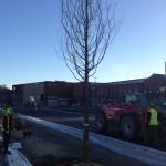 Mature Tree planting St Marys Boulevard Sunderland (3)
