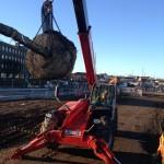 Mature Tree planting St Marys Boulevard Sunderland (4)